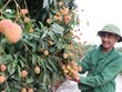 Hai Duong lychees expected to win foreign markets