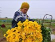 Largest flower village in Nam Dinh in full bloom for Lunar New Year