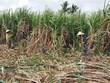 High-tech farming key to improve sugarcane quality, productivity