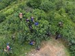 Efforts made to preserve ancient shan tuyet tea trees in Ha Giang