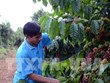 Coffee prices expected to rise due to supply shortage