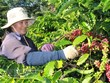 Coffee exports suffer strong drops