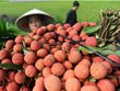 Hai Duong's lychee, longan export successful beyond expectation