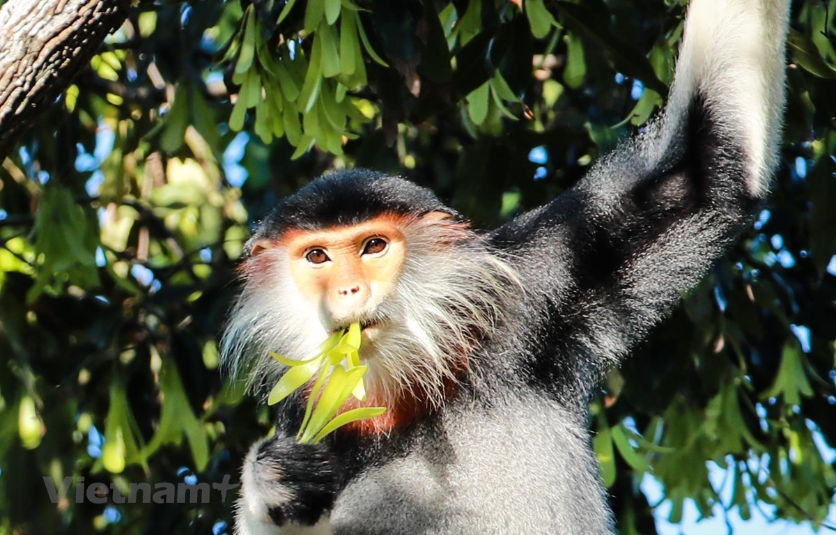 """The red-shanked douc – """"Queen of primates"""" (Photo: VietnamPlus)"""
