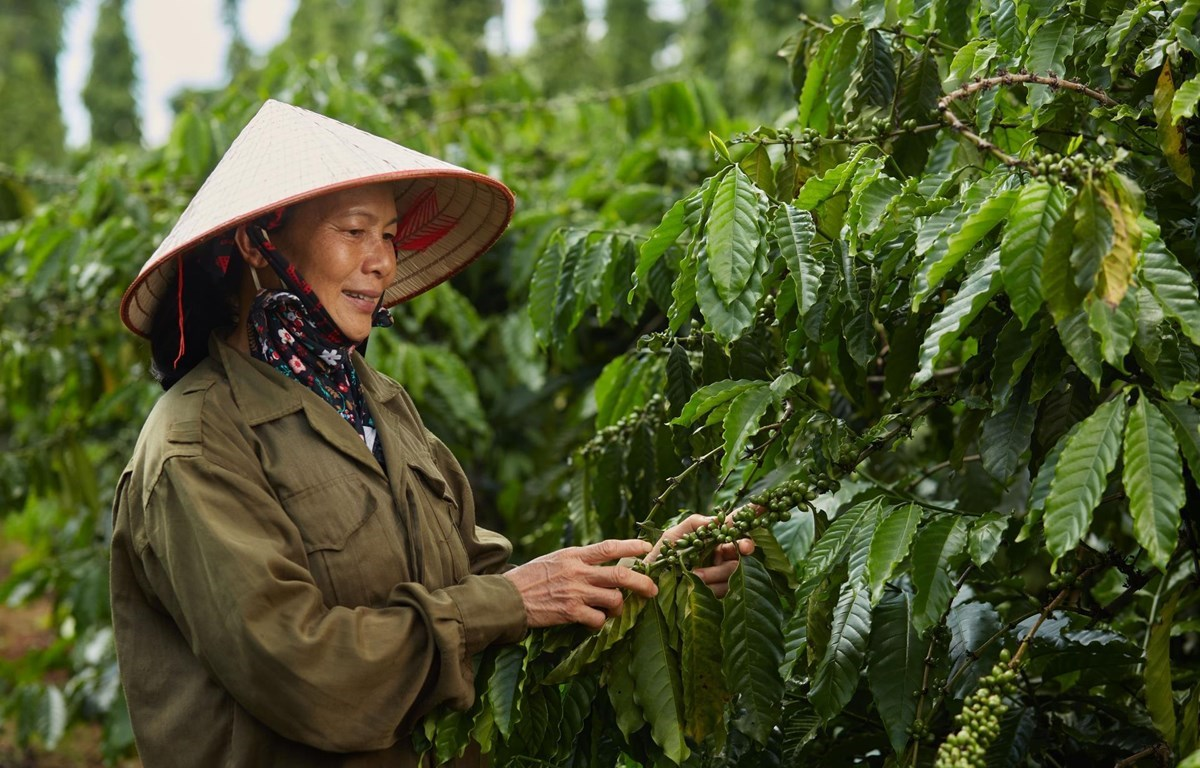 NESCAFE Plan project encourages farmers to carry out sustainable coffee development.