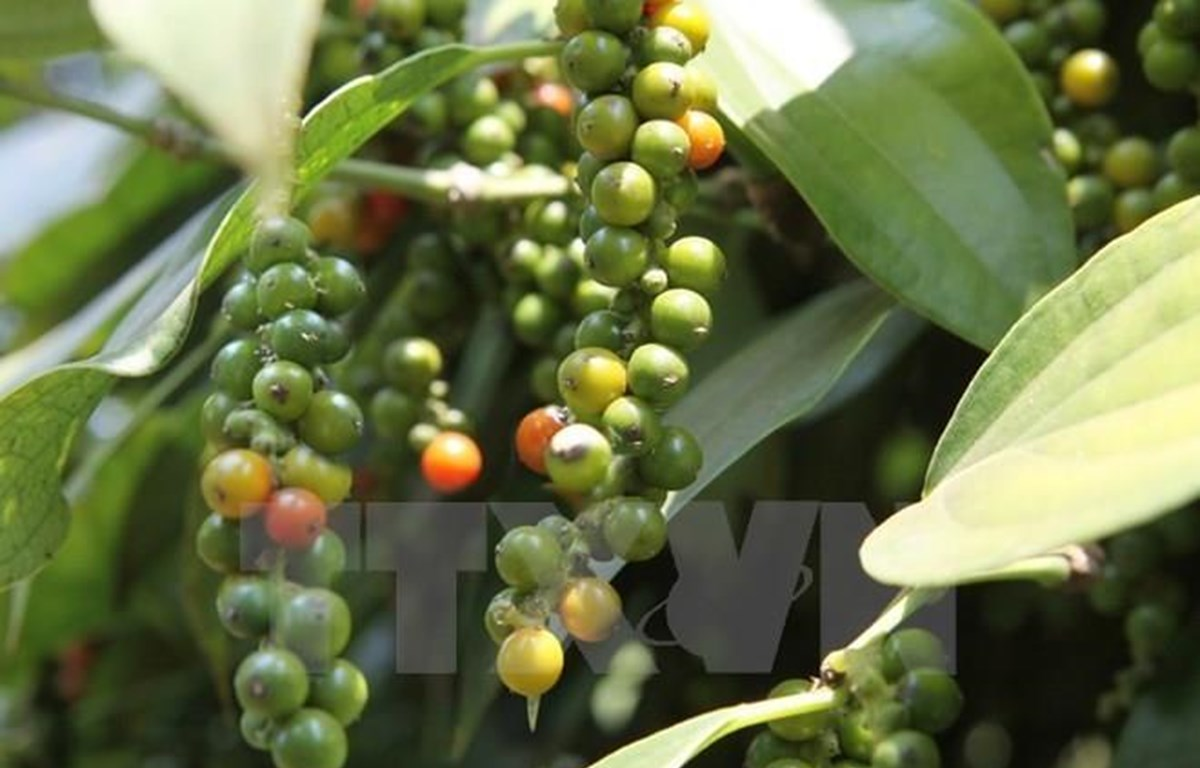 Agricultural ministry examines pepper farming development orientation