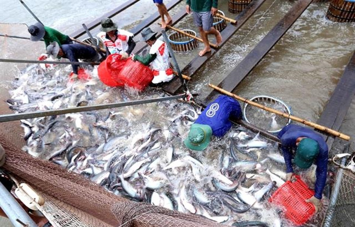 Tra fish export continues downward trend