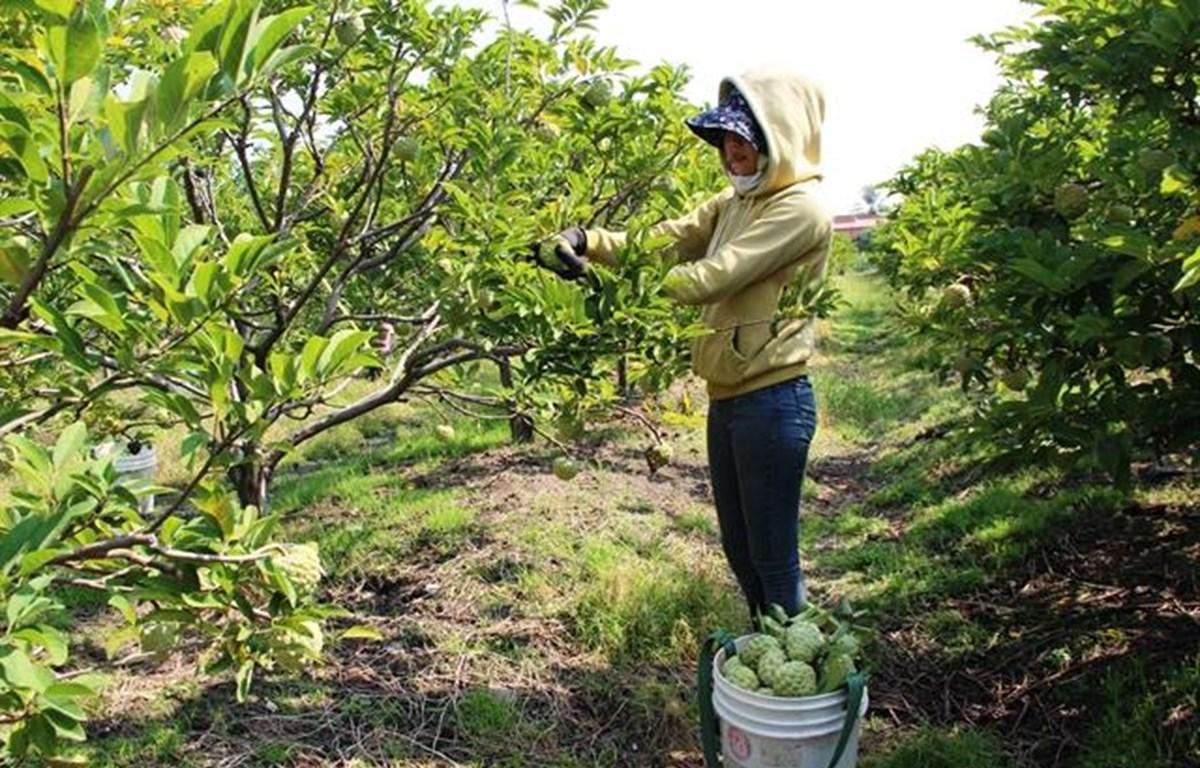 Tay Ninh custard apple farmers embrace VietGAP standards