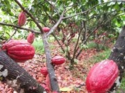 Cocoa farmers say things could be better