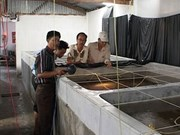 Ca Mau boosts clean breeding shrimp production