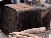 Smuggled ivory, rhino horns seized in Da Nang