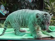 White tiger cubs on show to public