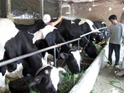 Vinh Phuc spends big on cow farms in Tam Dao