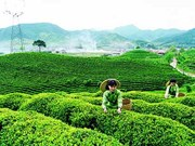 Thai Nguyen tea producers focus on domestic market