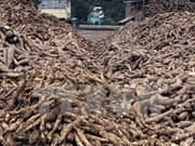 Cassava exports set to earn 1.5 bln USD this year