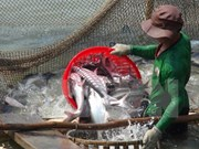 Vietnam strives to ensure smooth export of tra, basa fish