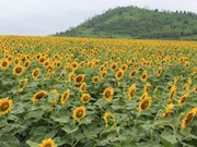 Sunflowers brighten up the lives of Vietnamese youths