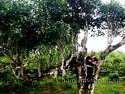 Yen Bai's ancient Shan tea becomes national heritage