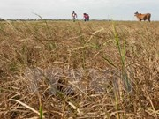 Mekong Delta farmers grapple with worst saline intrusion
