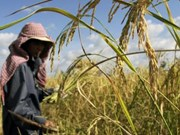 Cambodia: Rice yields drop slightly due to drought