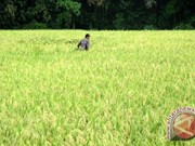 Indonesia targets to export rice to ten countries