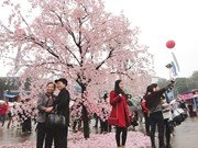 Japan Sakura Festival to return next week