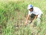 Drought causes loss of 4 million USD in Khanh Hoa