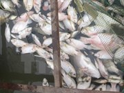 Ha Tinh to support farmers affected by mass fish deaths