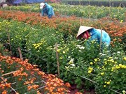 Hanoi farmers reap reward of higher-quality flowers