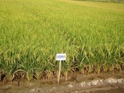 Delta farmers switch to drought-resistant crops