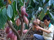 Vietnam to increase cacao area to 50,000 hectares by 2020