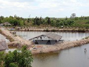 Natural disasters wreck havoc on aquaculture in Ca Mau