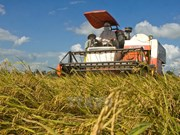Branding of Vietnamese rice should first focus on domestic market