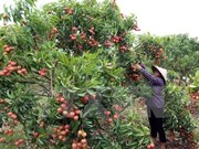 Hai Duong exports 5,000 tonnes of lychee so far
