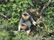 Red-shanked douc langur chosen as Da Nang's mascot