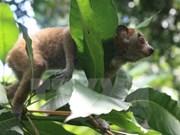 Six pygmy slow lorises rescued