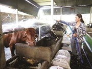 HCM City dairy farmers encouraged to breed oxen