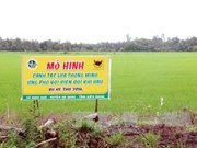 Mekong Delta adopts smart rice cultivation model