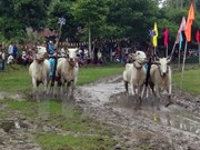 Oxen race at Khmer Dolta festival in An Giang
