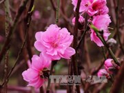 Nhat Tan peach flowers: Hanoi's symbol for Tet
