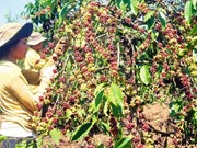 Dak Lak to replace fields of aging coffee trees