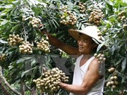 Hanoi ready to ship first late-ripening longan batch to US