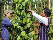 Pepper prices set to fall: experts