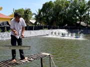 Organic shrimp farmers protect mangrove forests