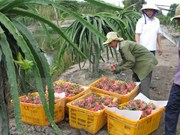 Australia considers dragon fruit imports from Vietnam
