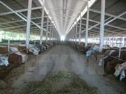 Vietnamese market sees oversupply of Australian cattle