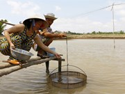 Shrimp breeders lack access to supply chains
