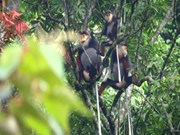 Hundred of rare primates found in Quang Binh