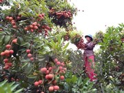 Bac Giang earns big from lychee fruit