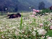 Flower festival to open in Ha Giang